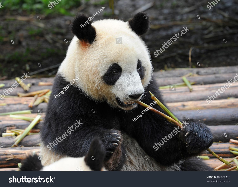 大熊猫吃竹笋-动物/野生生物