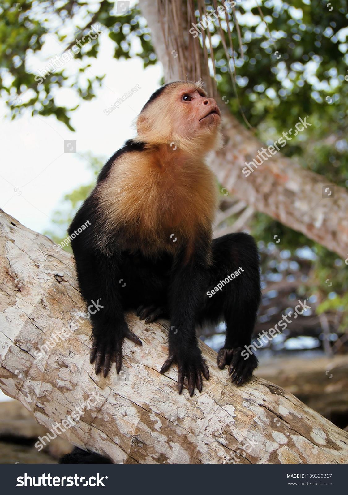 白色面临僧帽猴椰子树干,Cahuita国家公园,加勒比海,哥斯达黎加 - 动物/野生生物,自然 - 站酷海洛创意正版图片,视频,音乐素材交易平台 - Shutterstock中国独家合作伙伴 - 站酷旗下品牌
