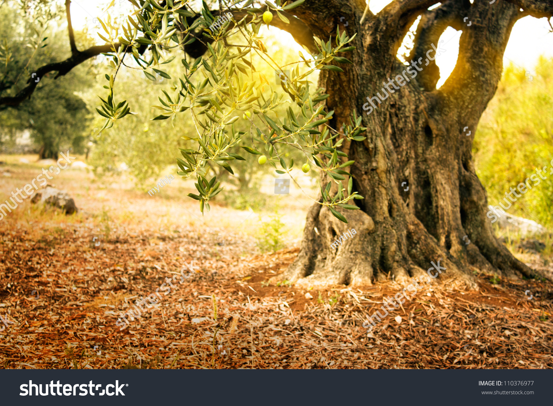 地中海橄榄字段与老橄榄树准备收成