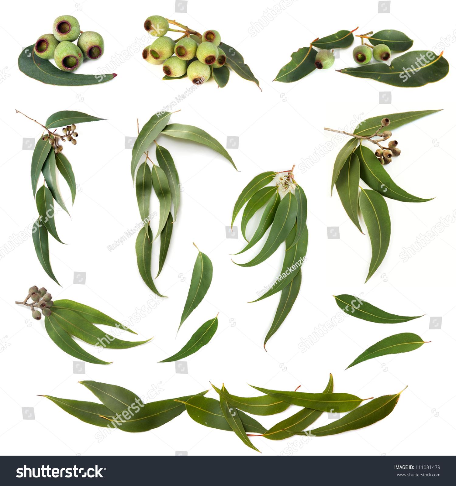 收藏的桉树叶和牙龈坚果