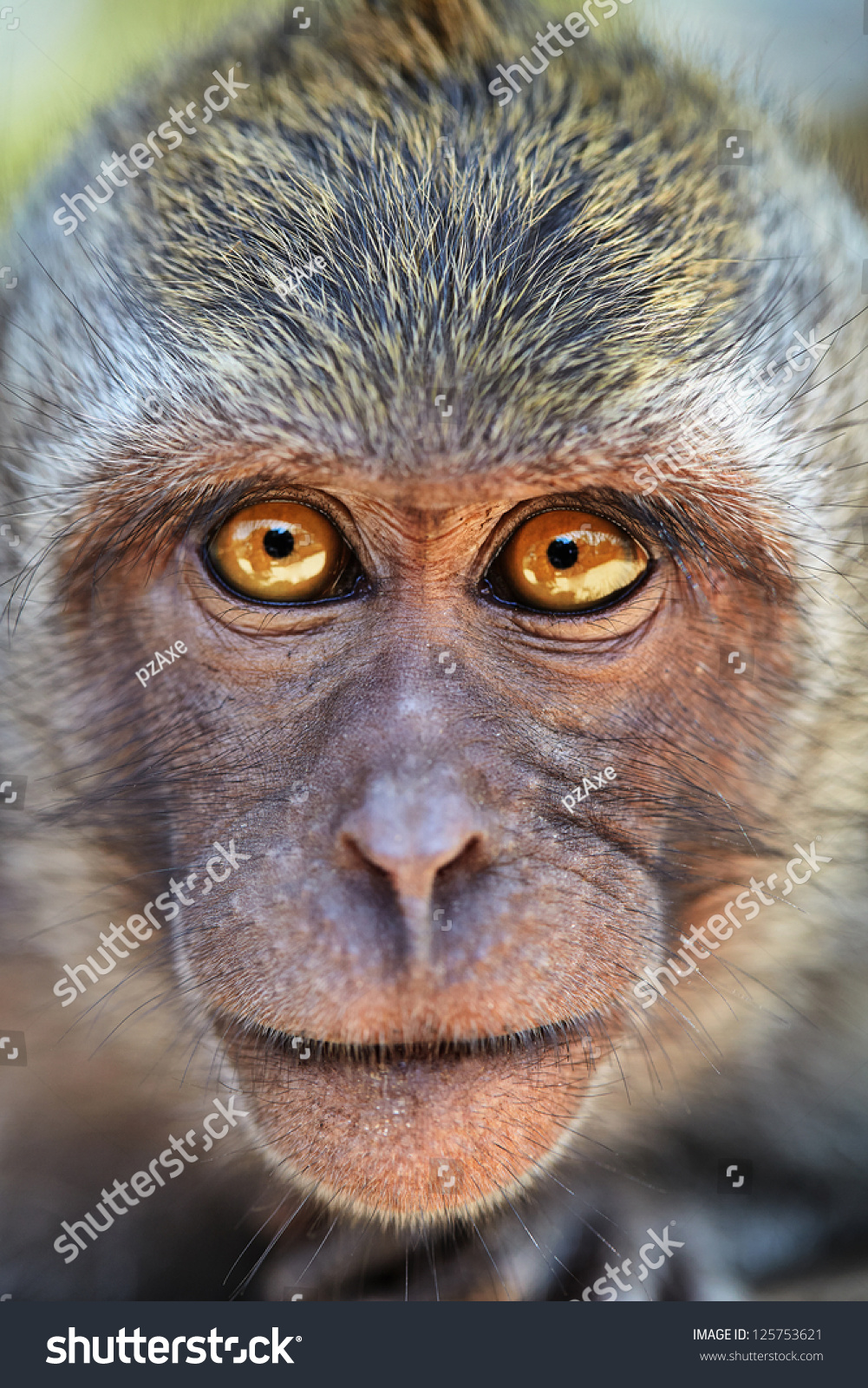 的画像好奇猴子用明亮的眼睛在相机。Crab-eating猕猴或长尾猕猴(猕猴属分离出了),巴厘岛。 - 动物/野生生物,自然 - 站酷海洛创意正版图片,视频,音乐素材交易平台 - Shutterstock中国独家合作伙伴 - 站酷旗下品牌