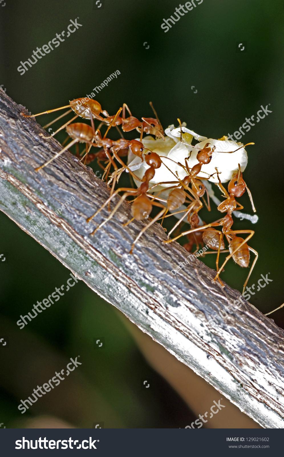 蚂蚁搬家的幼虫-动物/野生生物,自然-海洛创意()-中国图片