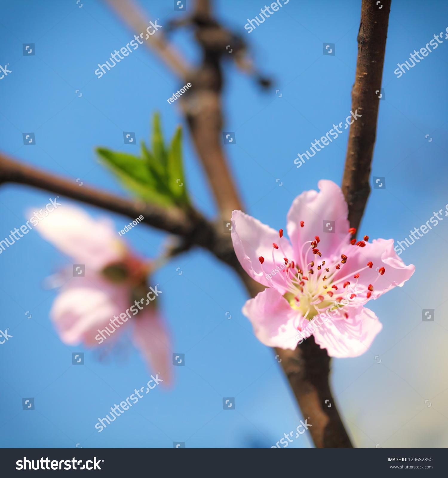 蓝天下粉色的梅花-自然,公园/户外-海洛创意(hellorf)