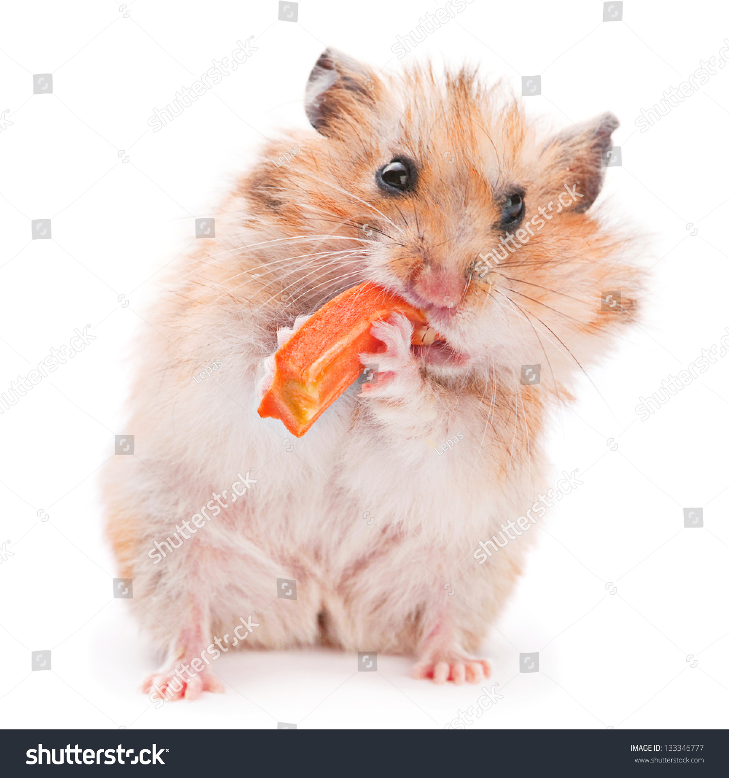 仓鼠吃胡萝卜-动物/野生生物-海洛创意(hellorf)-中国