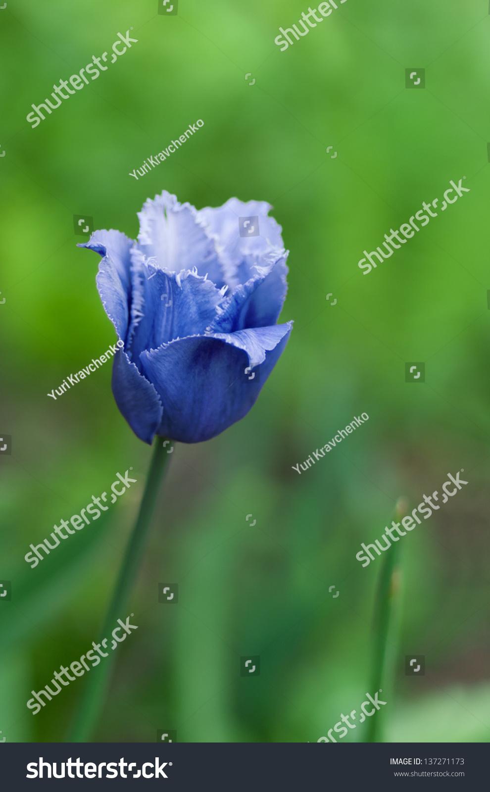 蓝色的罕见的郁金香在绿色背景下(浅景深).