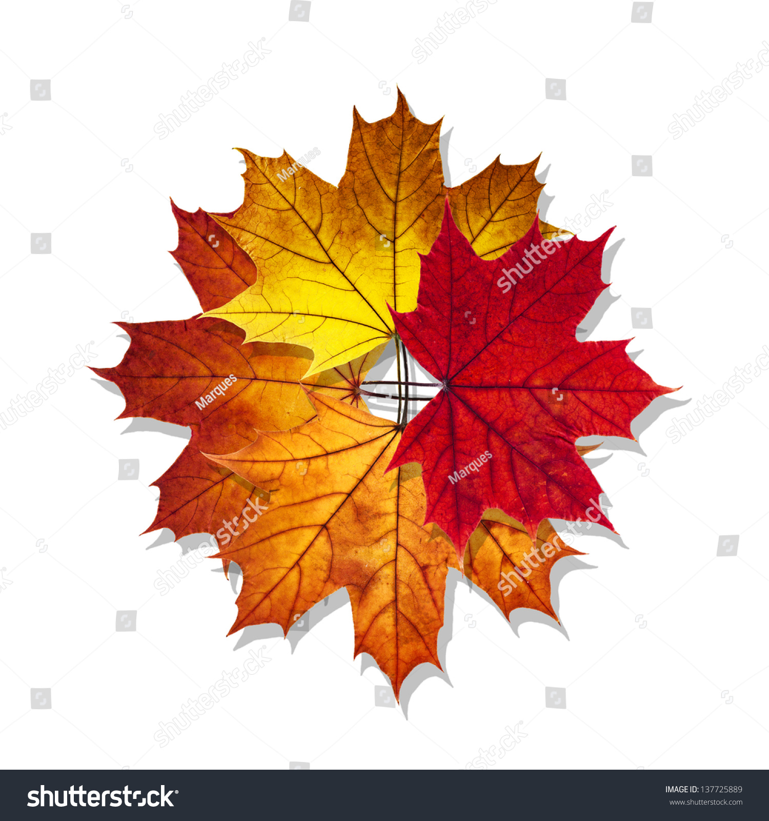 明星用秋天枫叶孤立在白色背景-物体,自然-海洛创意()