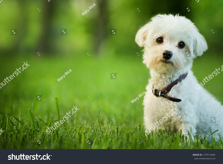 可爱的马尔济斯犬坐在草地上-动物/野生生物,公园/-()