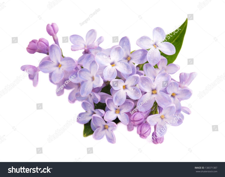 淡紫色分支孤立在白色背景