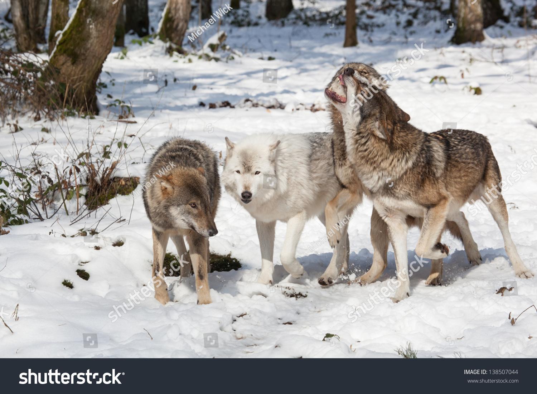 狼群的战斗木材森林狼在雪白的冬天-动物/野生生物