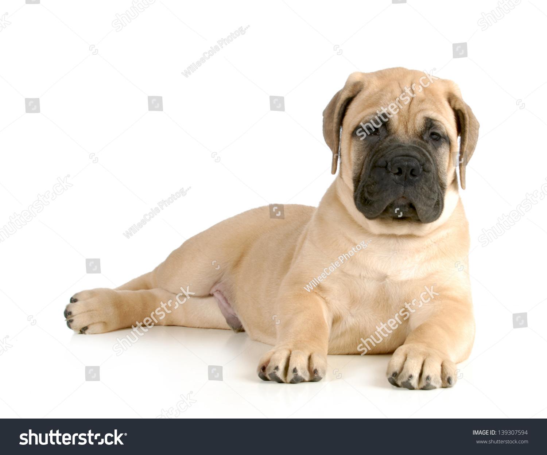 可爱的小狗——牛头獒小狗放下看观众孤立在白色背景