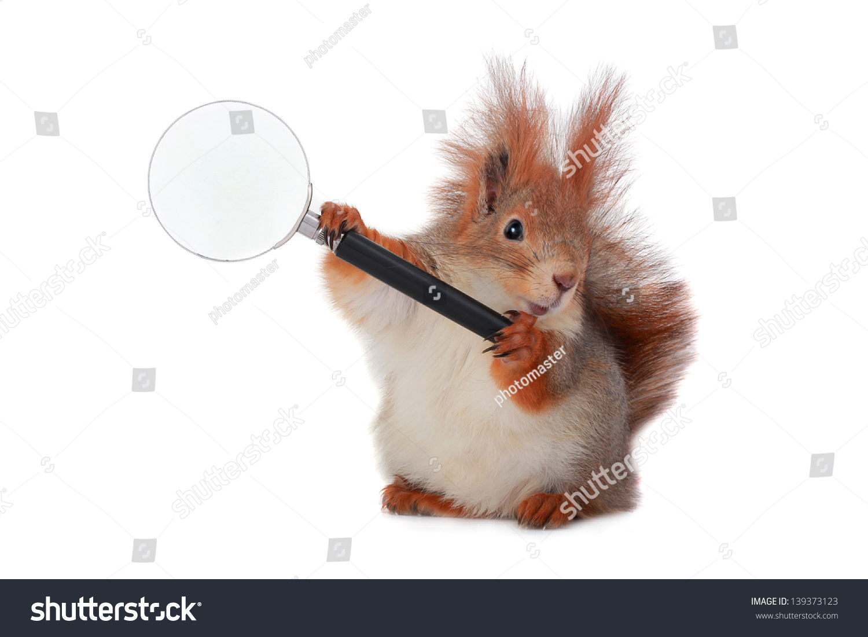 松鼠放大透镜在白色背景-动物/野生生物,背景/素材-()