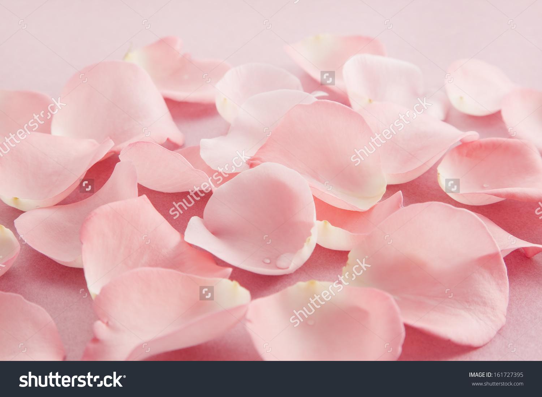 许多柔软的粉色玫瑰花瓣在一个分组.