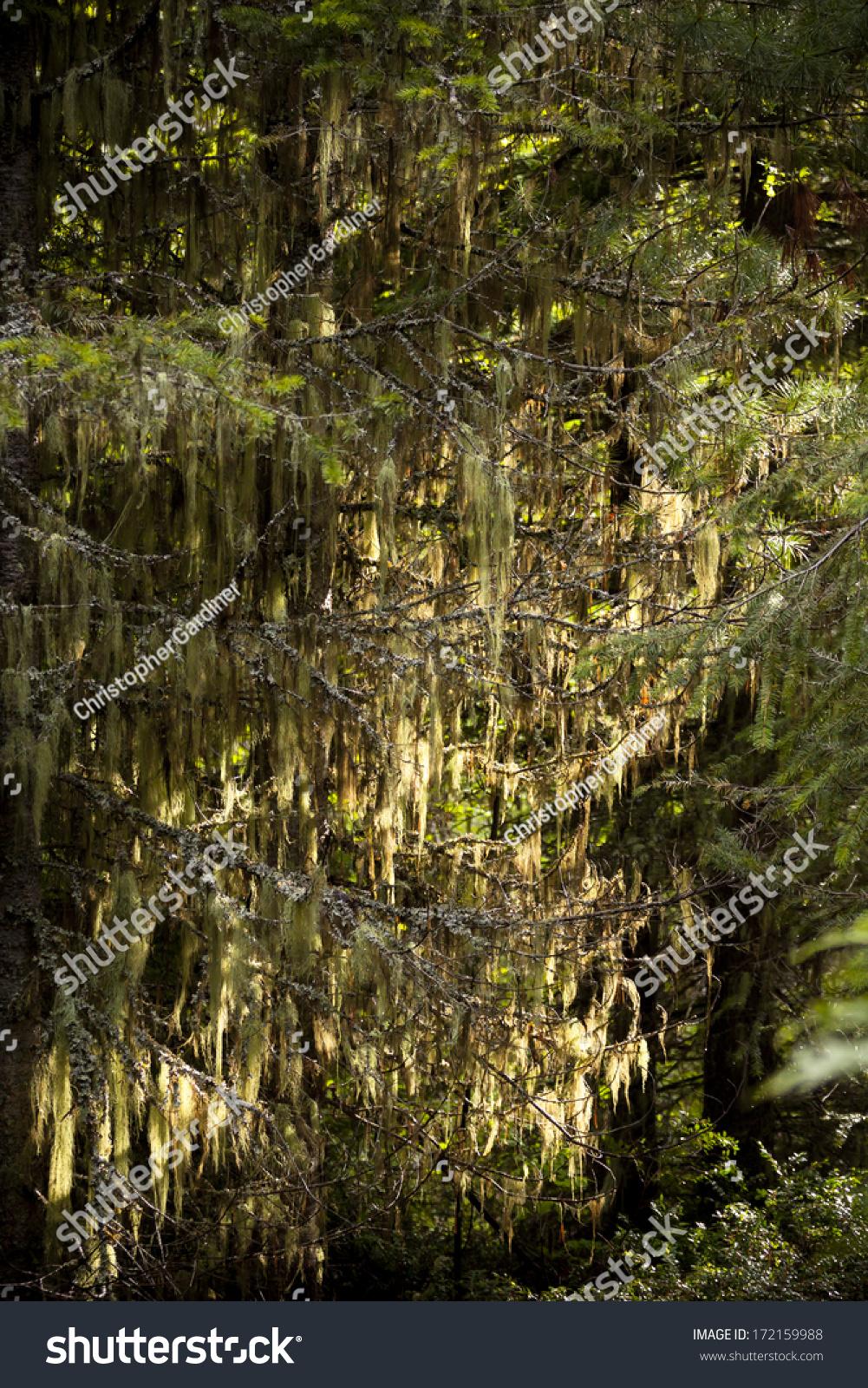 """""""松萝""""地衣生长在常青树-物体,自然-海洛创意(hellorf"""