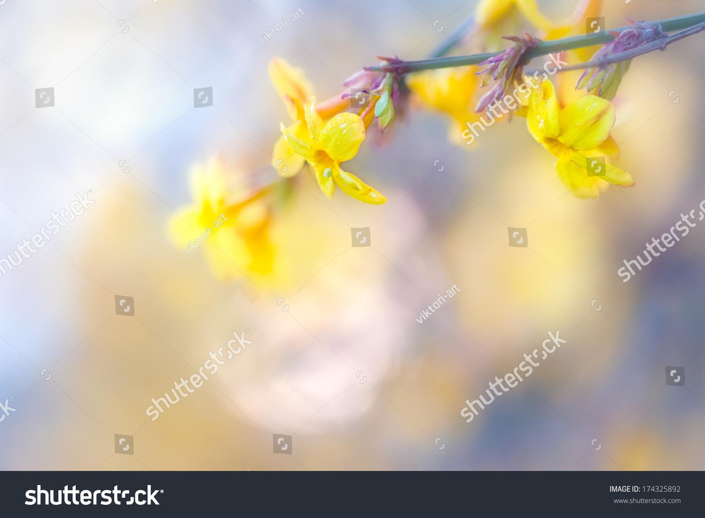 黄色的迎春花绽放.-自然,公园/户外-海洛创意(hellorf