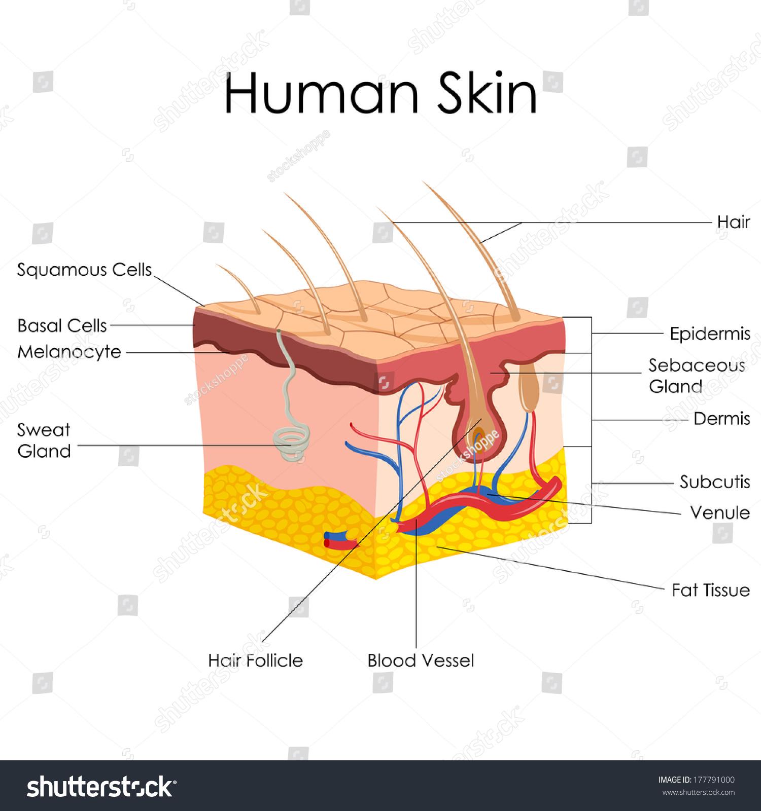 猪宝解剖结构图