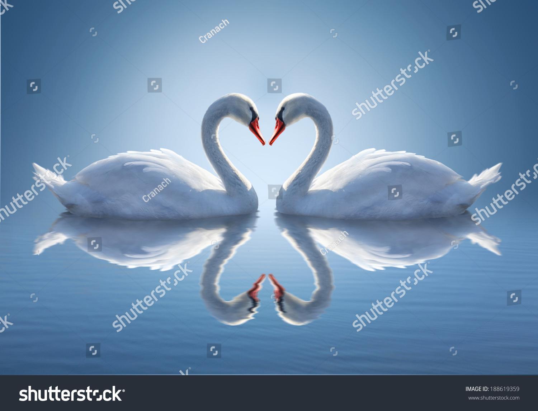 微信头像动物天鹅