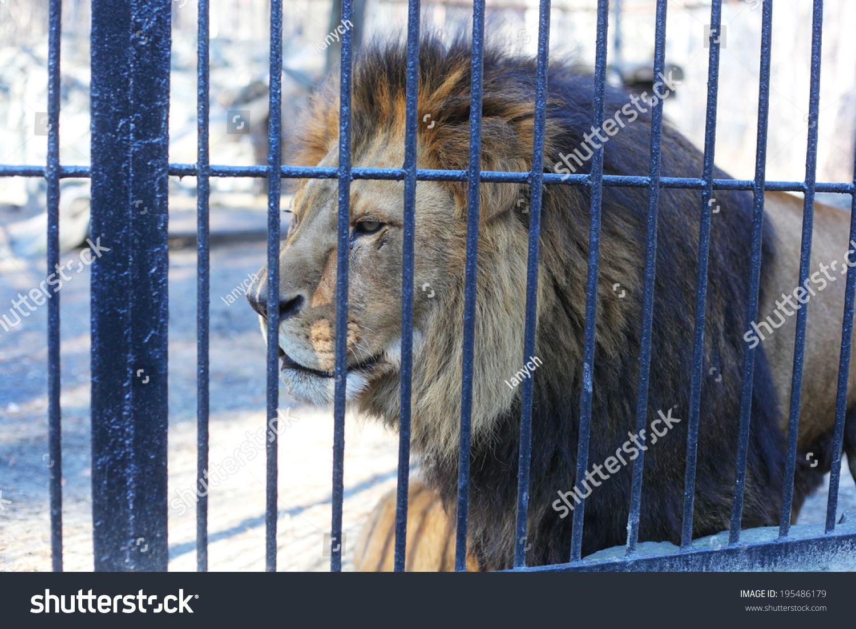 大狮子在动物园的笼子里-动物/野生生物,公园/户外-()