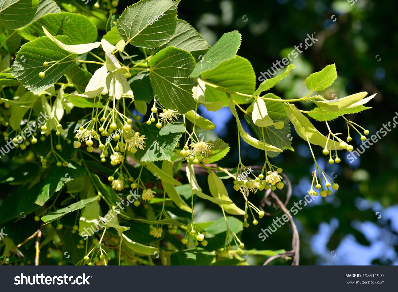 菩提树(菩提树)菩提花-自然-海洛创意(hellorf)-中国