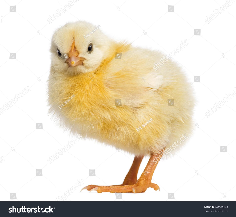 小鸡2天-动物/野生生物-海洛创意(hellorf)-中国独家