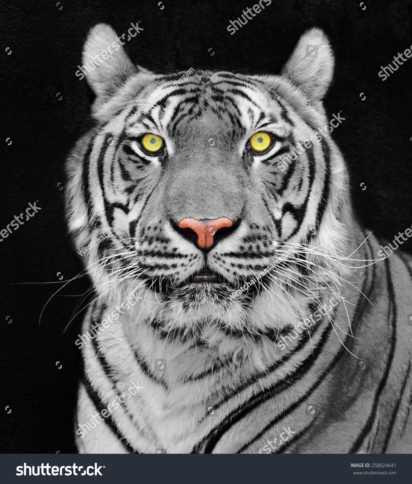 老虎,老虎的画像.-动物/野生生物,自然-海洛创意()-.