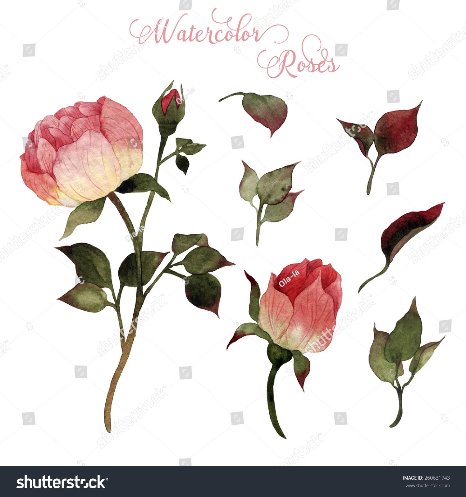 玫瑰和树叶,水彩,可以用作贺卡,请柬,婚礼,生日和其他