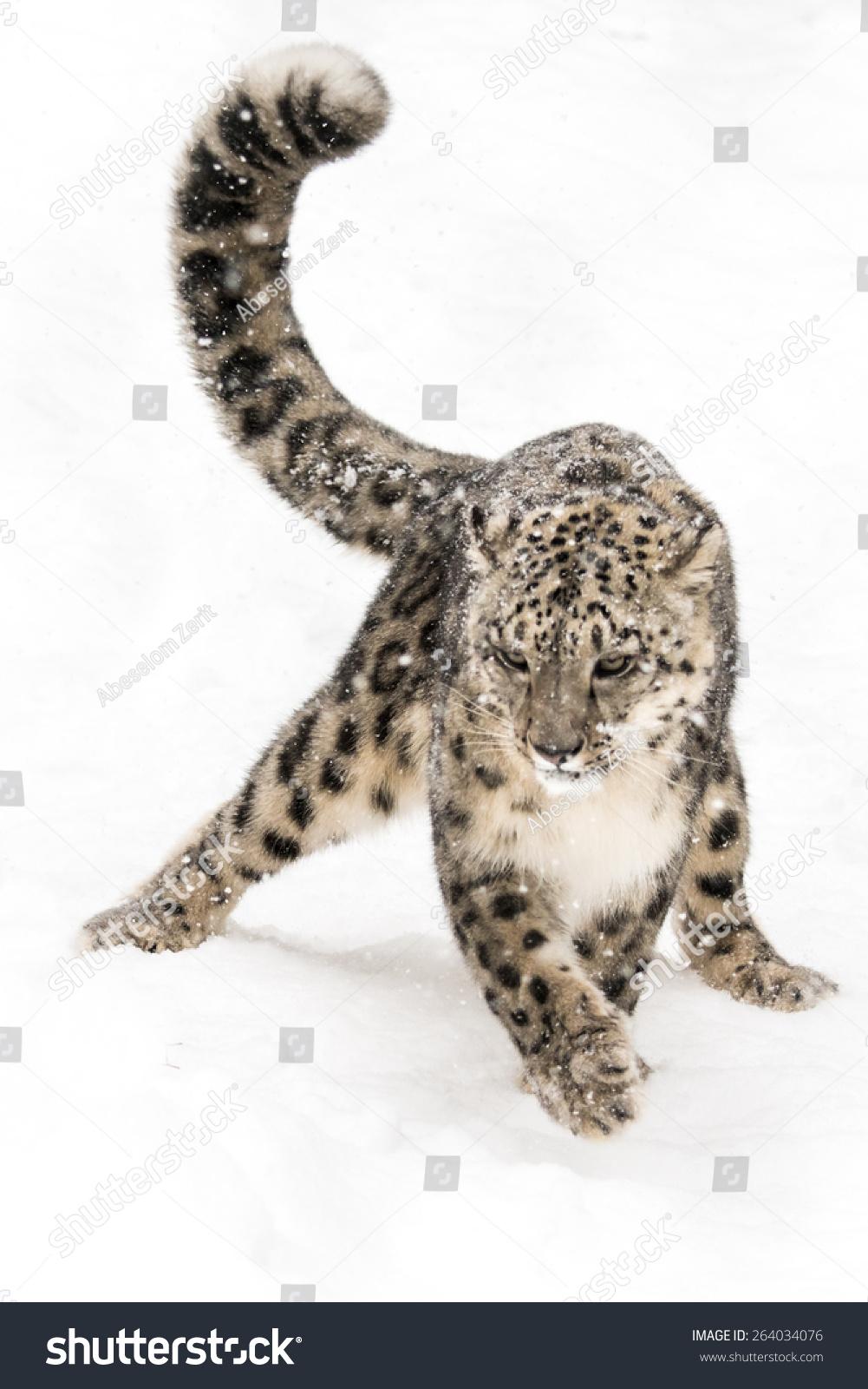 雪豹在雪中潜行-动物/野生生物,自然-海洛创意()-中国