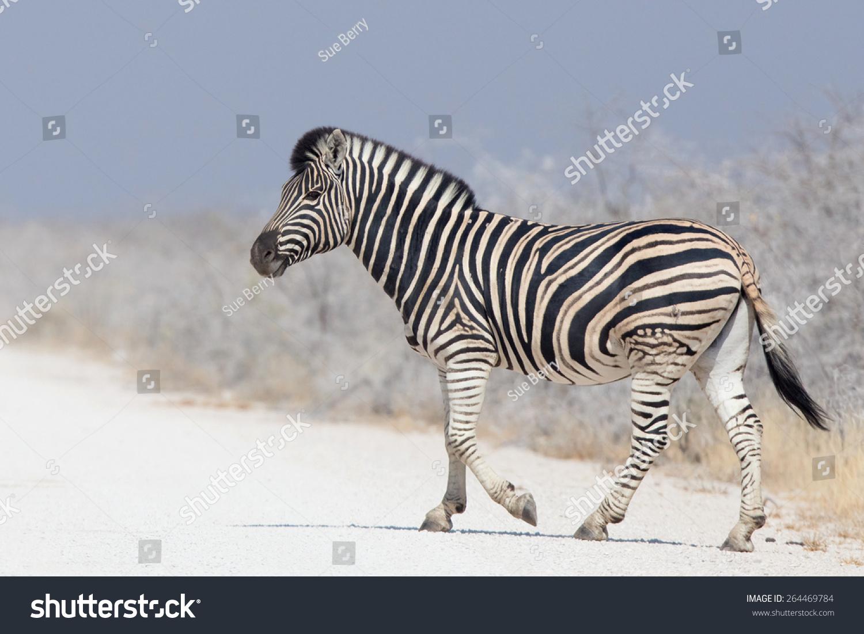 burchell斑马(科仕斑驴)走在纳米比亚埃托沙国家公园