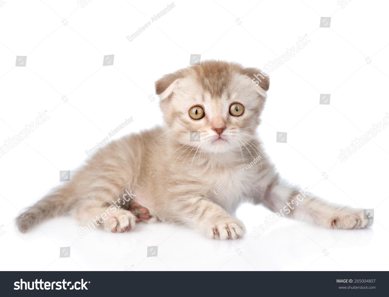 小猫动物名片资料