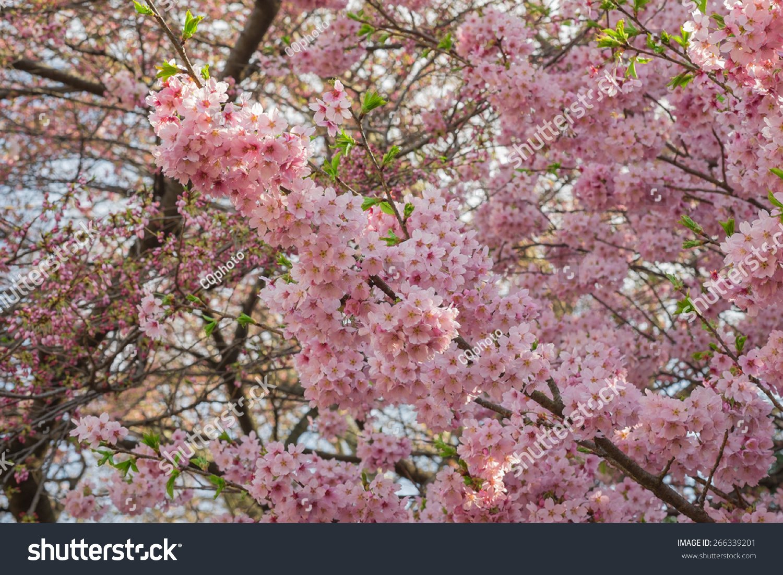 粉色的樱花的花,粉色的樱花在花园