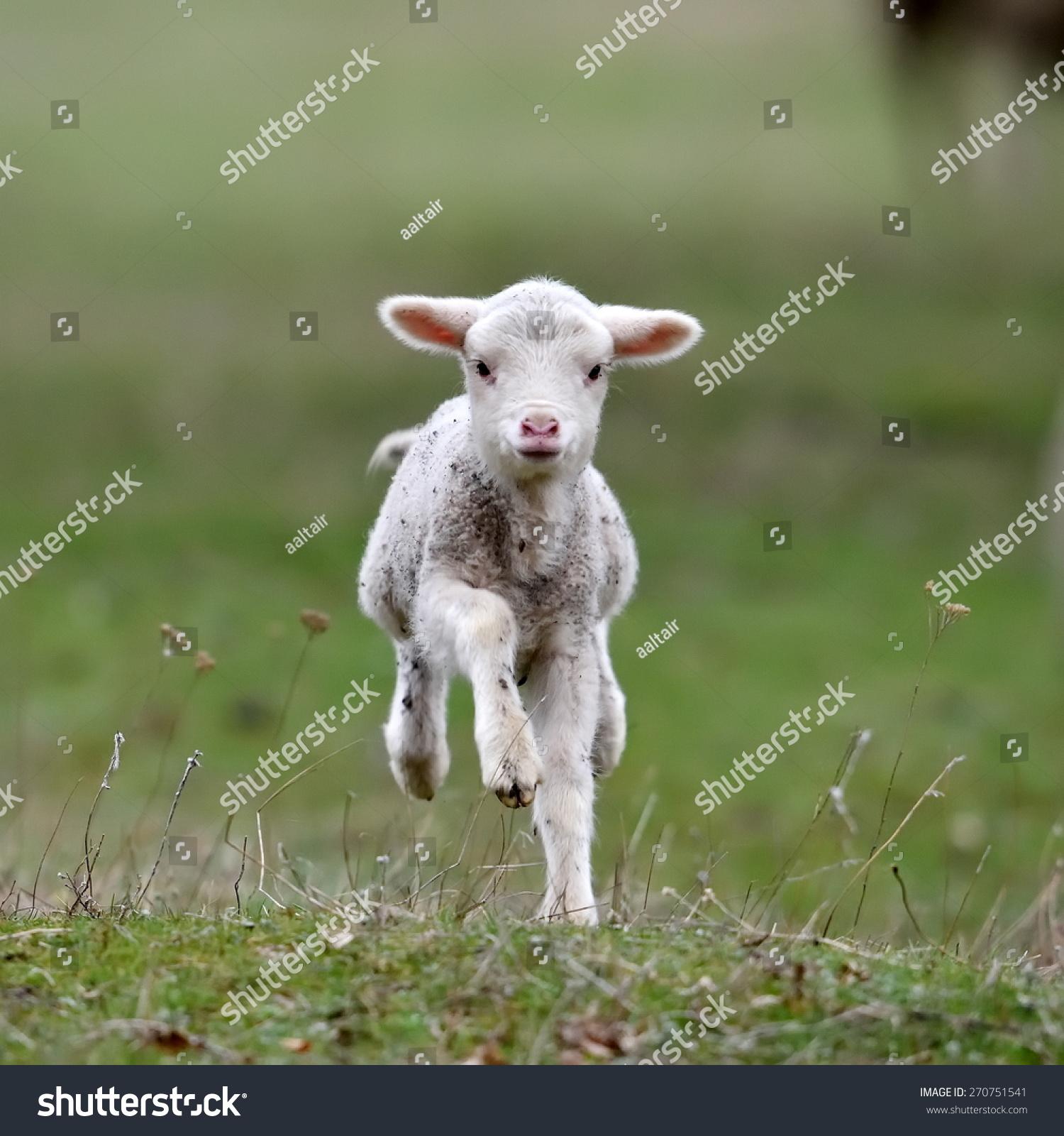 动物设计名片小羊