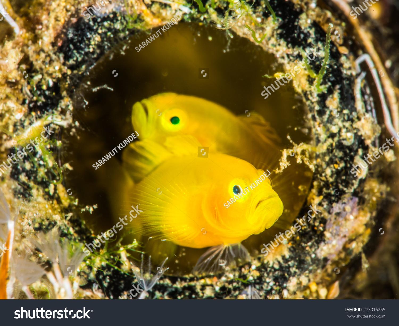 黄金鰕虎鱼躲在一个废弃的玻璃瓶-动物/野生生物,自然