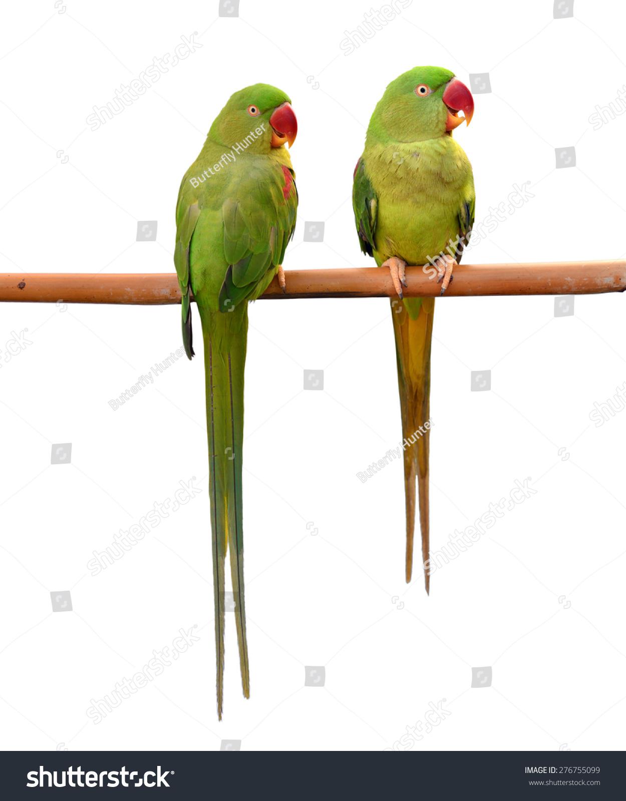同上长尾小鹦鹉,绿色的鹦鹉鸟孤立在白色背景-动物