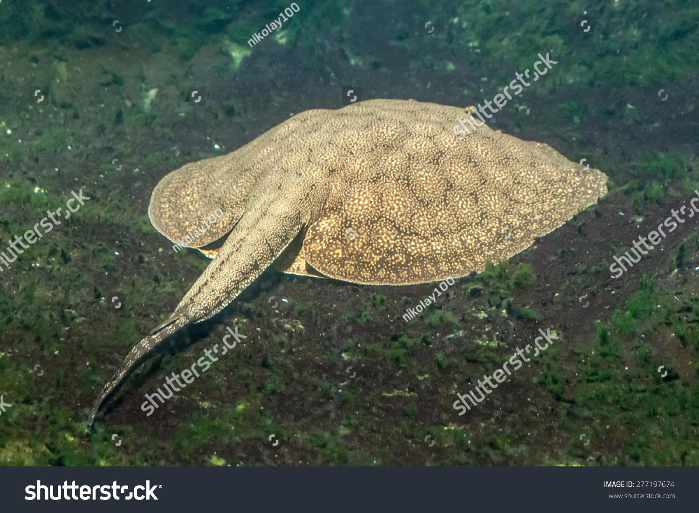 一只老虎黄貂鱼在水下的照片-动物/野生生物