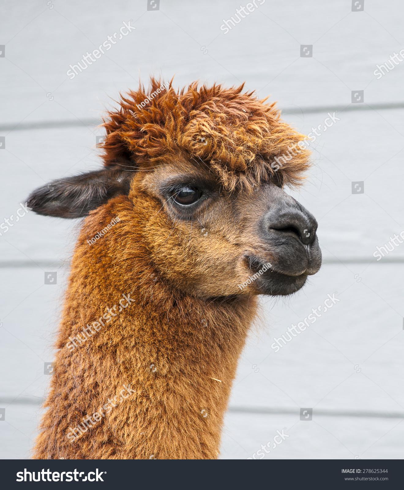 棕色羊驼与深蓝色的谷仓的背景-动物/野生生物-海洛()