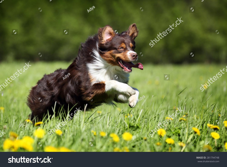 澳大利亚牧羊犬在草地上跑步-动物/野生生物-海洛