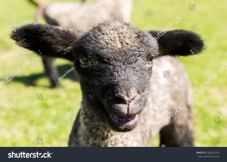 好看唯美微信头像动物羊