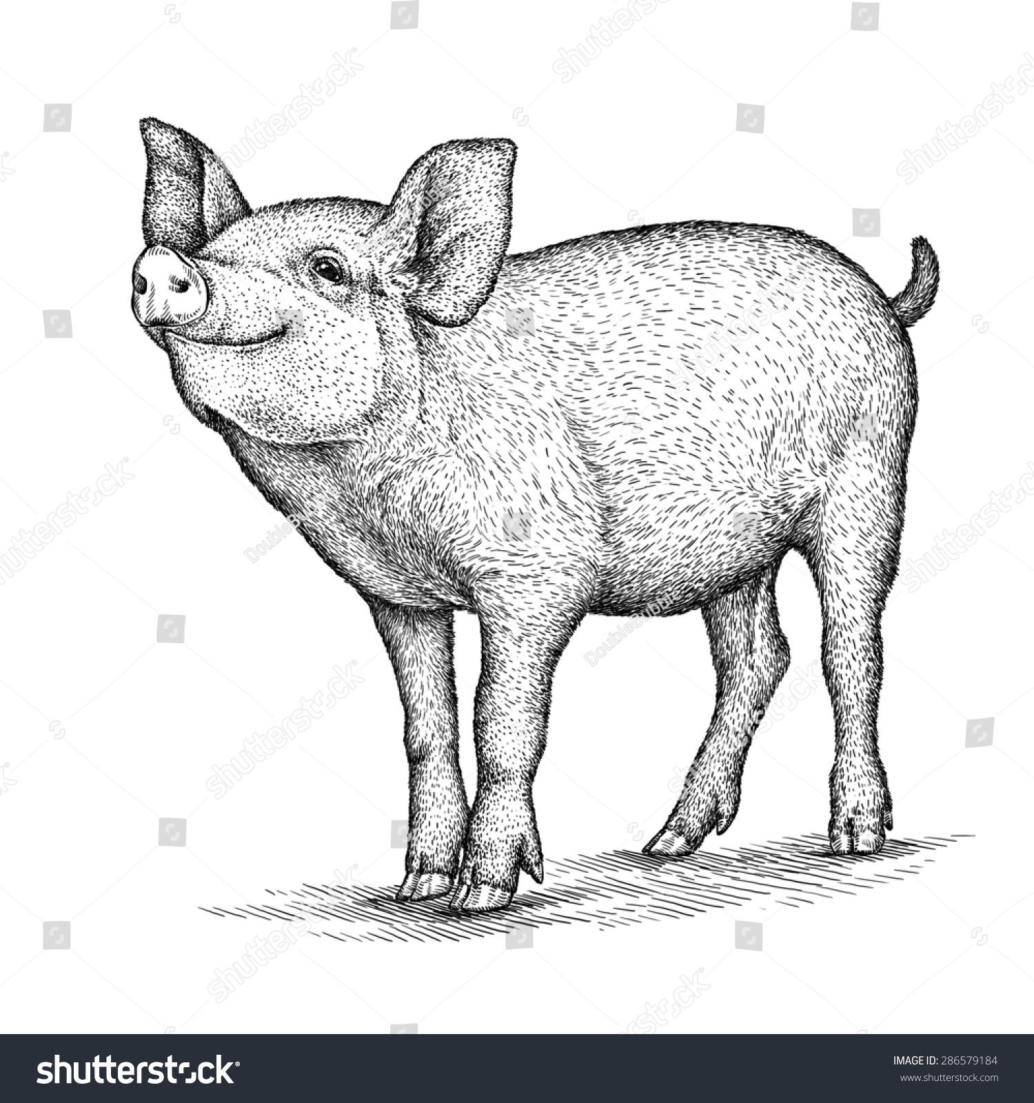 黑白插图版画的猪在白色背景上-动物/野生生物,艺术