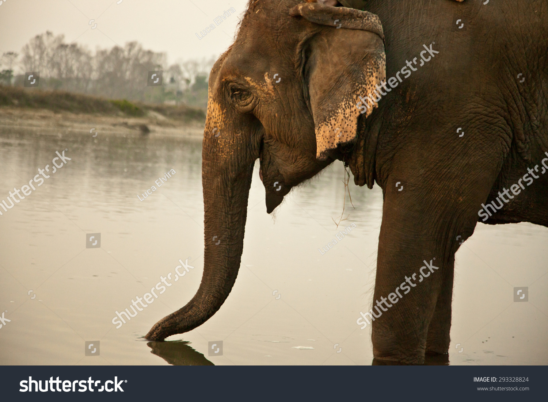 大象在水中-动物/野生生物