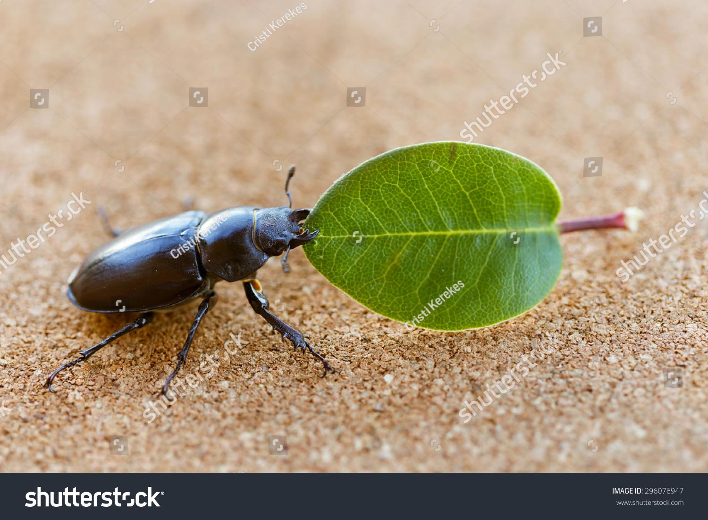 女性鹿角虫软木桌子上拿着一片叶子-动物/野生生物