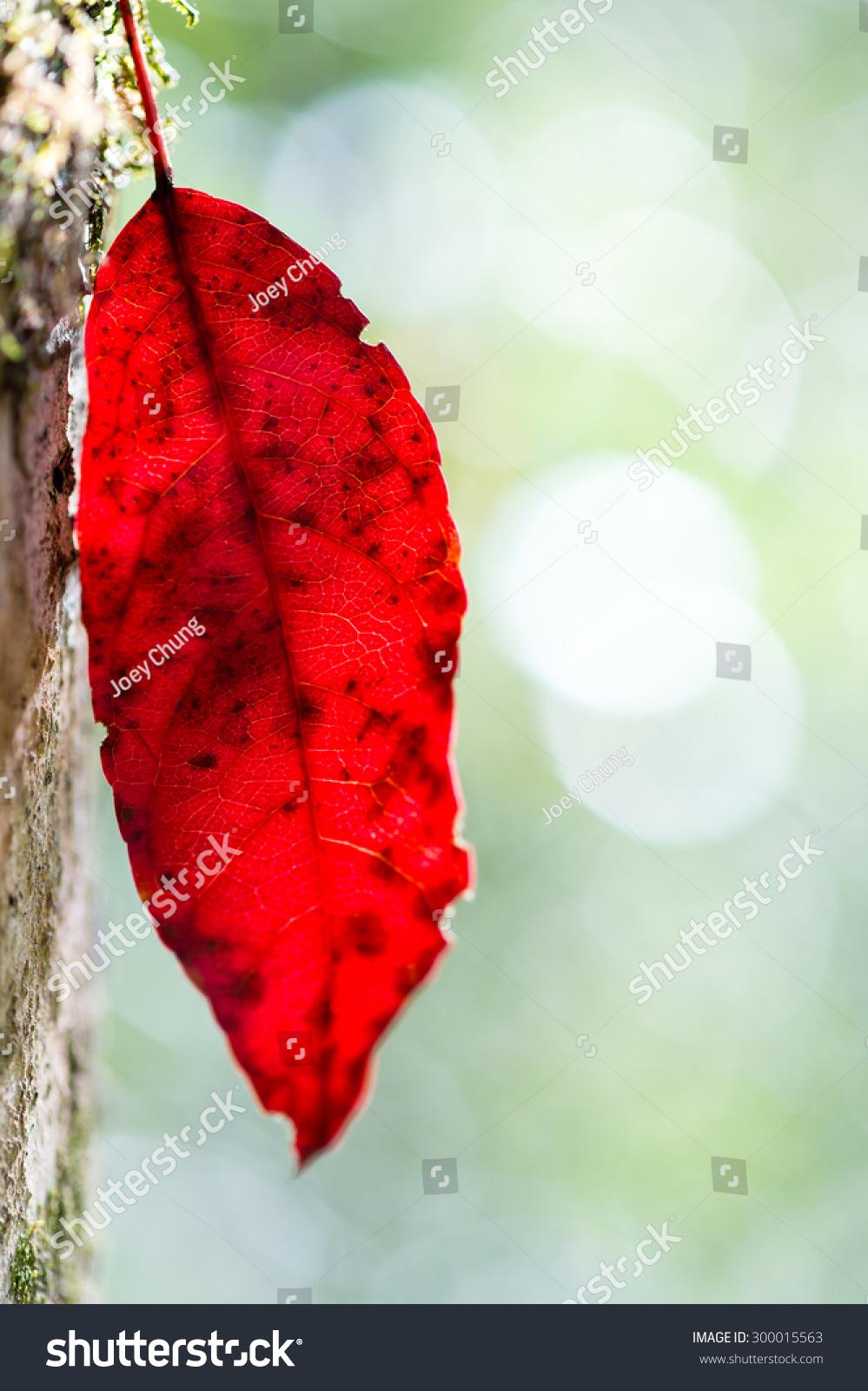 特写的红色秋天叶子挂在树枝上-自然-海洛创意()-中国