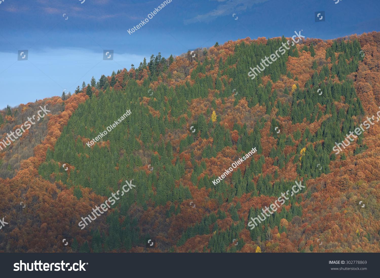 秋天的森林山坡上.山毛榉和冷杉树.自然的纹理.喀尔巴图片