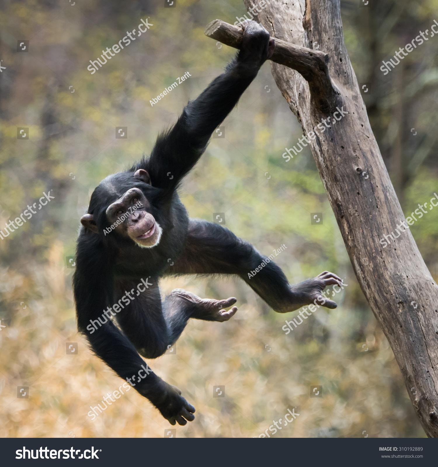 年轻的黑猩猩树枝的摆动-动物/野生生物