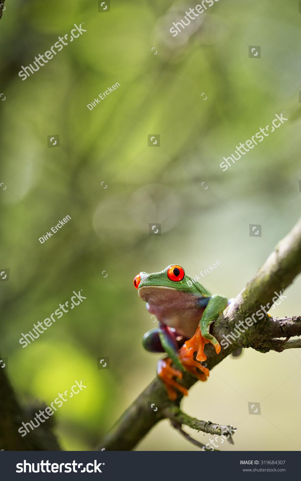 红眼树蛙哥斯达黎加的热带雨林动物,异国情调的树蛙