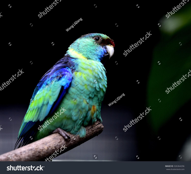 玛莉环颈鹦鹉-动物/野生生物