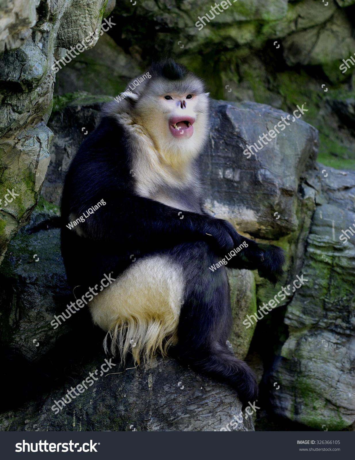 云南翘鼻子猴子-动物/野生生物