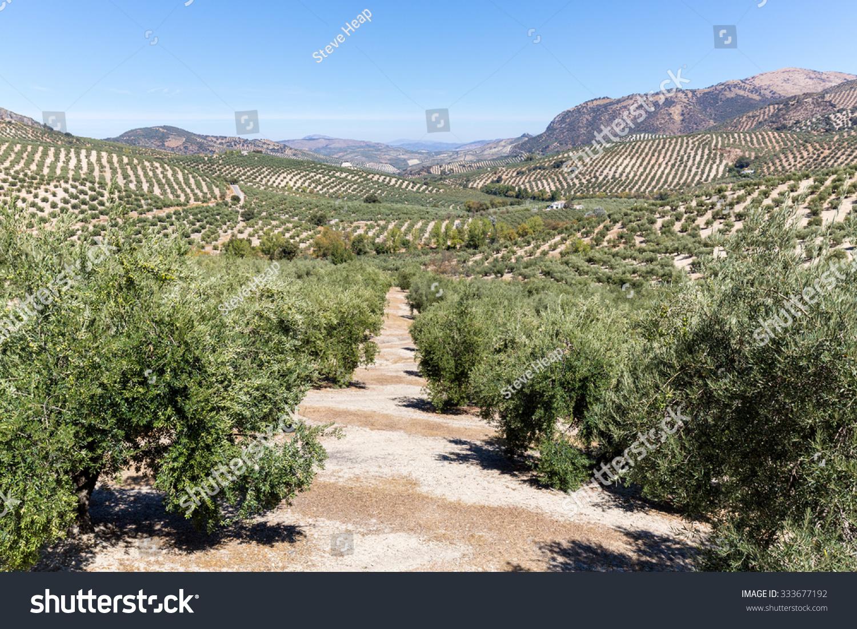 橄榄树行到达远方的山和山在西班牙南部的安达卢西亚