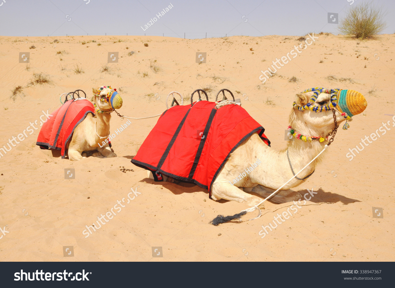 坐在骆驼在沙漠里的迪拜-动物/野生生物