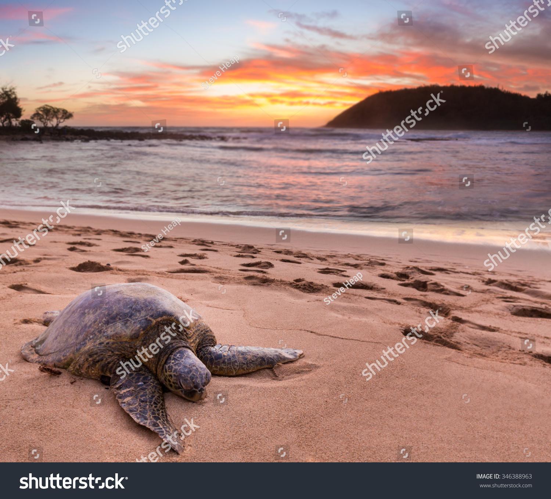 搁浅在砂绿海龟moloa在夏威夷考艾岛的东海岸海滩