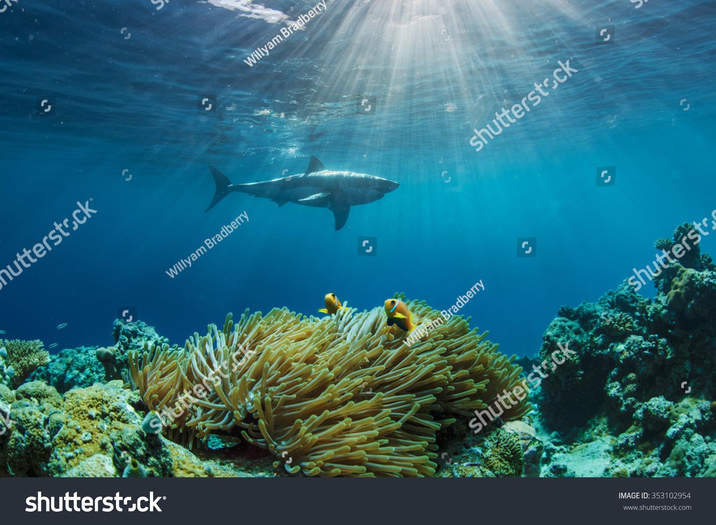 两个小丑鱼藏在海葵.大白鲨鱼的背景.阳光在水面的