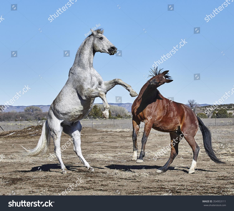 肮脏的白马饲养在海湾的马前面的脚离开地面,头扭来避免饲养马 - 动物/野生生物,运动/娱乐活动 - 站酷海洛创意正版图片,视频,音乐素材交易平台 - Shutterstock中国独家合作伙伴 - 站酷旗下品牌